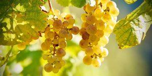 reife Weintrauben im Herbst
